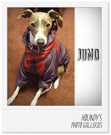 ジュノちゃん イタリアン グレー ハウンド 服 ご着用写真