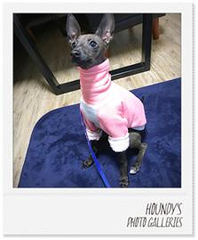 イタリアングレーハウンドのモナちゃん犬服ご着用