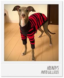 ミントちゃんイタリアングレーハウンドの犬服ご着用