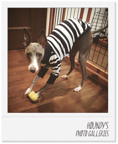 イタリアングレイハウンド服 Tシャツ 犬服